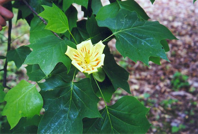 Liriodendron Tulipifera Flower Tuliptree (Liriodendro...