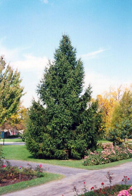 Norway Spruce Picea Abies In Naperville Aurora Batavia