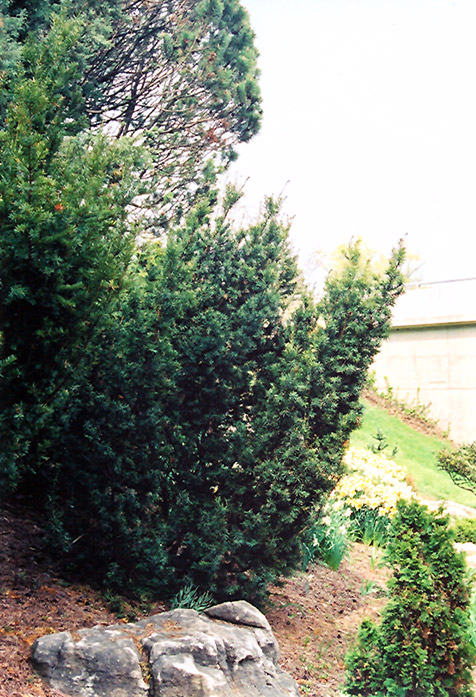 Captain upright yew taxus cuspidata fastigiata at the growing