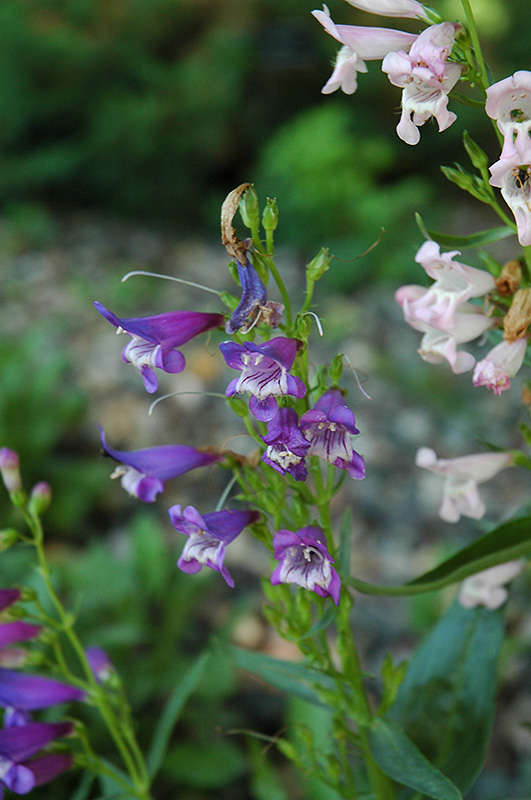 Rondo Mix Beard Tongue (Penstemon \'Rondo Mix\') in Naperville Aurora ...