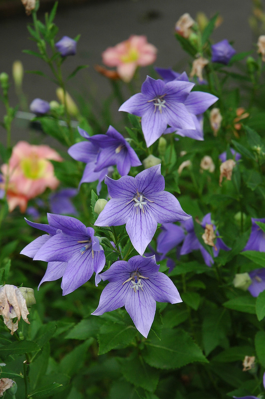 balloon flower planting instructions