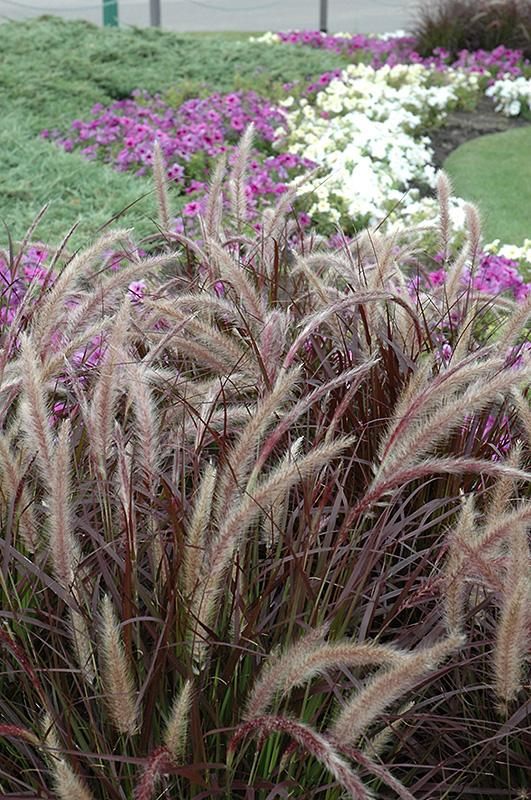 purple fountain grass pennisetum setaceum 39 rubrum 39 in naperville aurora batavia oswego chicago. Black Bedroom Furniture Sets. Home Design Ideas
