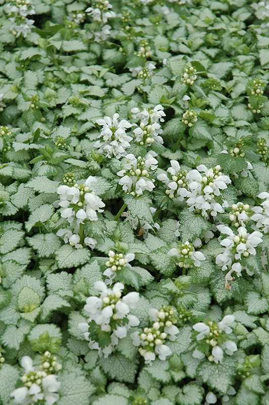 White Nancy Spotted Dead Nettle Lamium Maculatum At The Growing