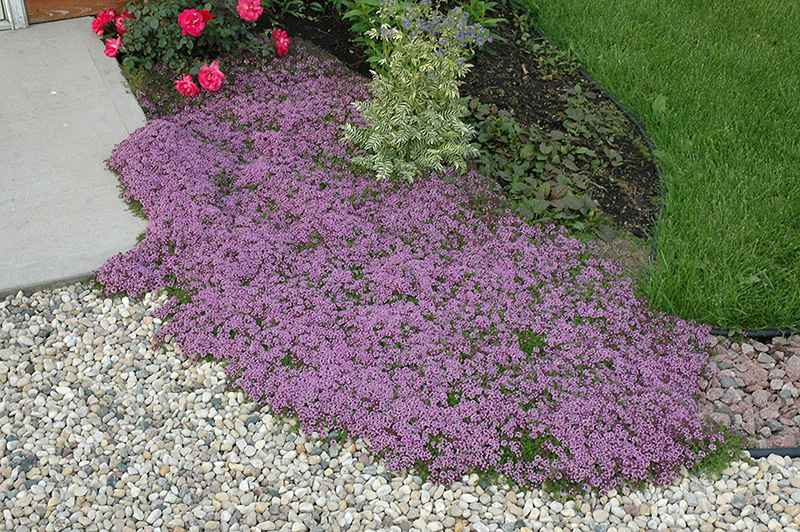 Red Creeping Thyme Thymus Praecox Coccineus In
