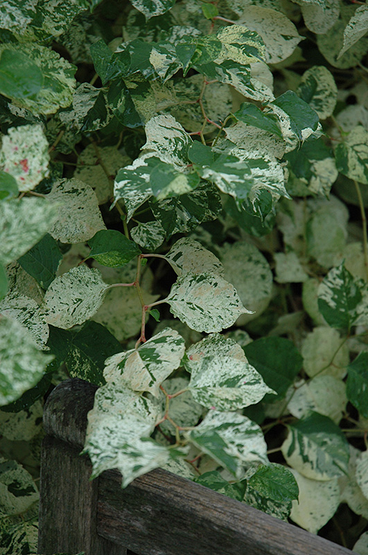 Variegated Japanese Fleeceflower (Fallopia japonica 'Variegata') at The Growing Place