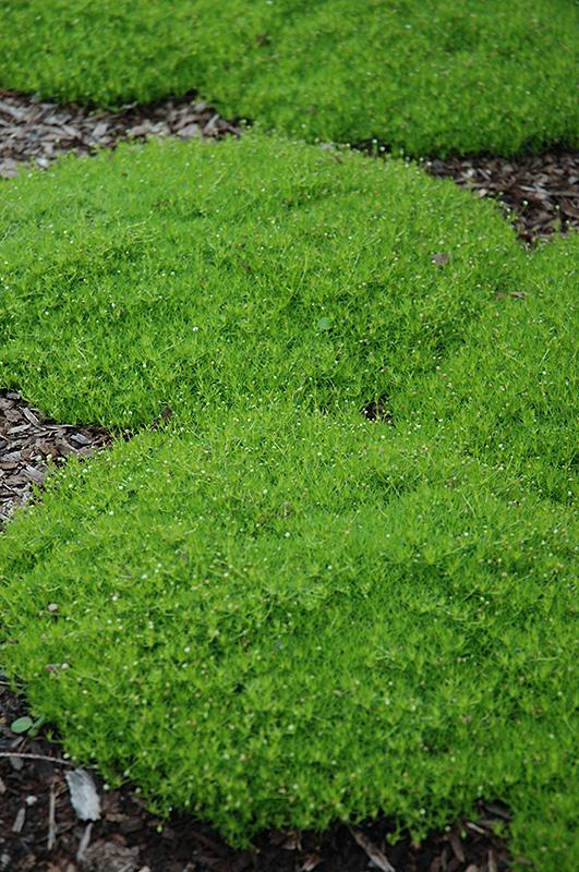 Irish Moss Sagina Subulata In Naperville Aurora Batavia