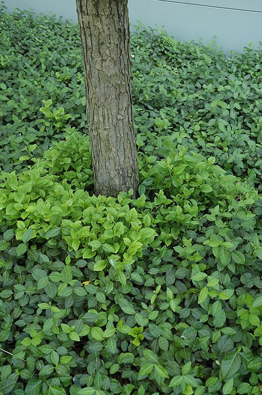 Vegetus Wintercreeper Euonymus Fortunei Vegetus In