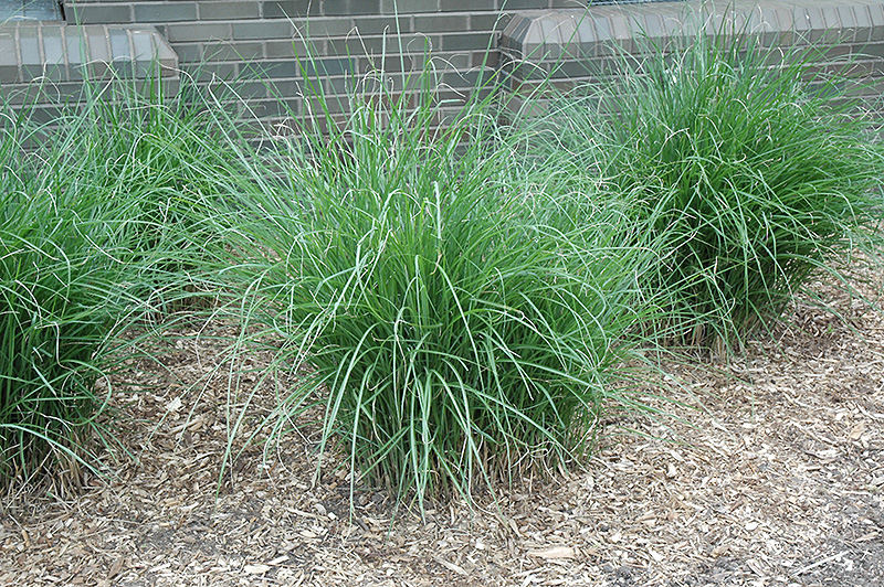 Gracillimus maiden grass miscanthus sinensis 39 gracillimus for Ornamental grasses that stay green all year