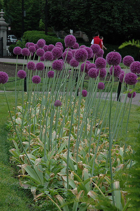 Gladiator Ornamental Onion Allium Gladiator In