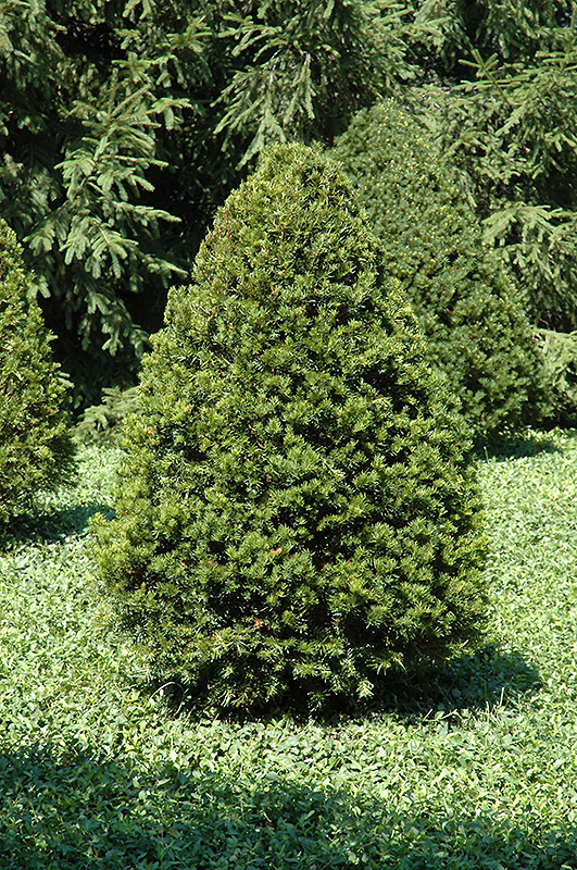 Emerald peak yew taxus cuspidata 39 tvurdy 39 in naperville for Garden yew trees