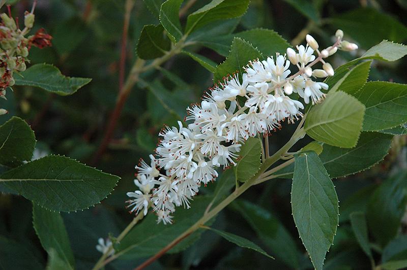 Clethra Alnifolia Pruning Clethra Alnifolia 'vanilla