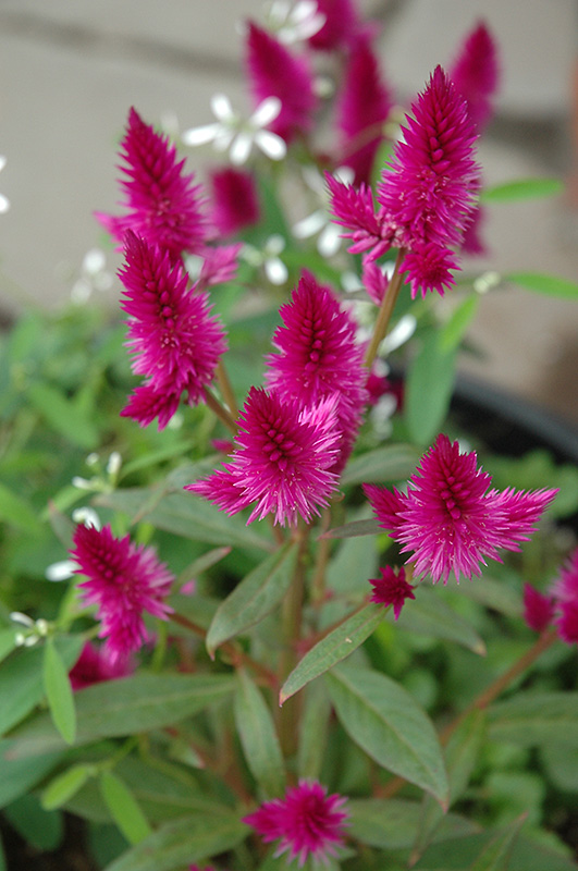 Intenz celosia celosia intenz in naperville aurora batavia intenz celosia celosia intenz at the growing place intenz celosia flowers mightylinksfo