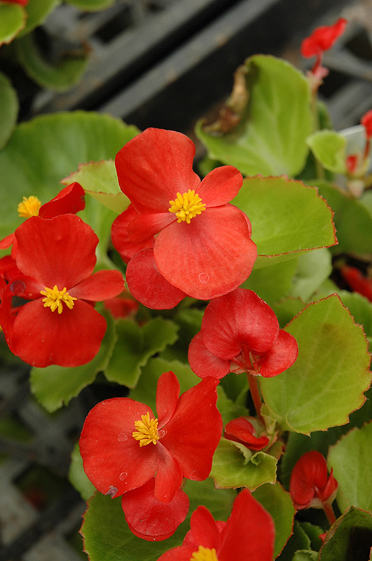Prelude Scarlet Begonia At The Growing Place Flowers