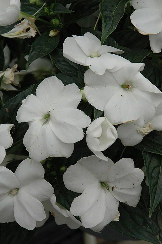 Sonic White New Guinea Impatiens (Impatiens 'Sonic White ... White Impatiens Flowers