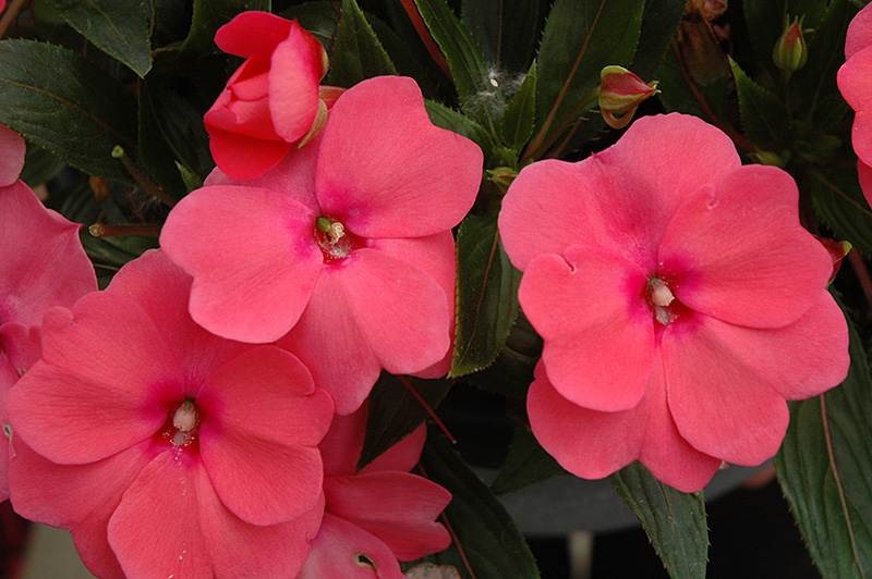 Sonic pink new guinea impatiens impatiens 39 sonic pink for New guinea impatiens