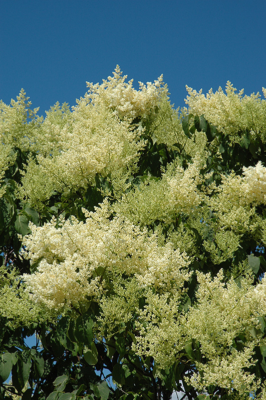 Japanese tree lilac syringa reticulata in naperville for Garden city trees