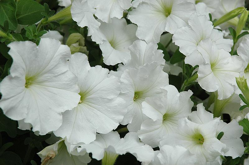 Madness White Petunia Petunia Madness White In Naperville Aurora