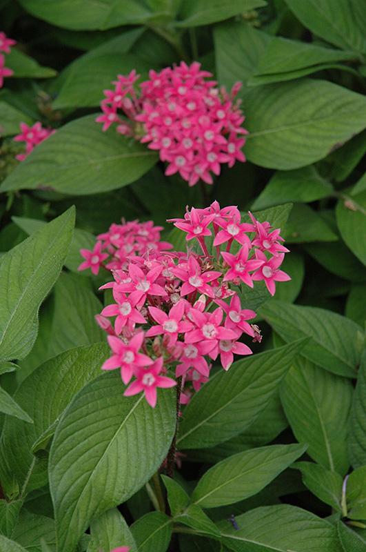 Egyptian Star Flower Pentas Lanceolata In Naperville Aurora