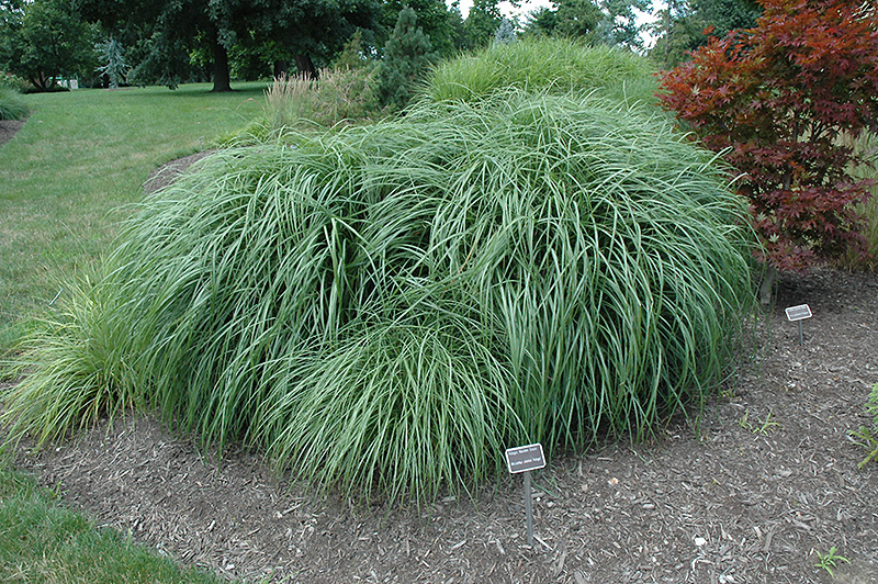 Adagio Maiden Grass (Miscanthus sinensis 'Adagio') in ...