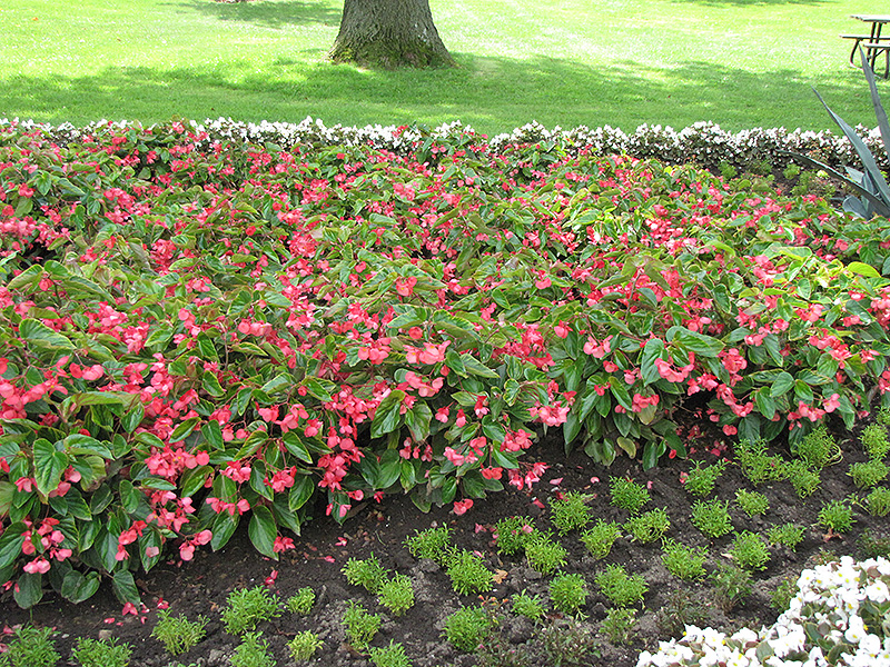 Dragon Wing Pink Begonia (Begonia \'Dragon Wing Pink\') in Naperville ...