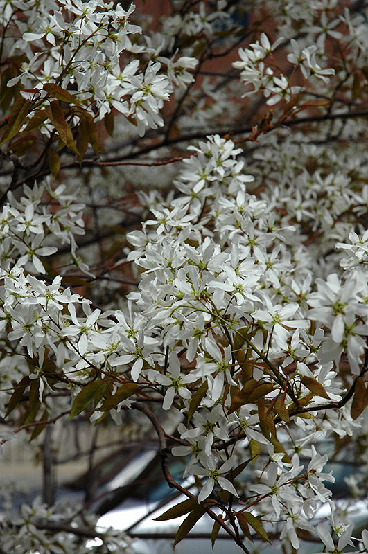 Spring flurry serviceberry amelanchier laevis jfs arb in spring flurry serviceberry amelanchier laevis jfs arb at the growing place thecheapjerseys Image collections