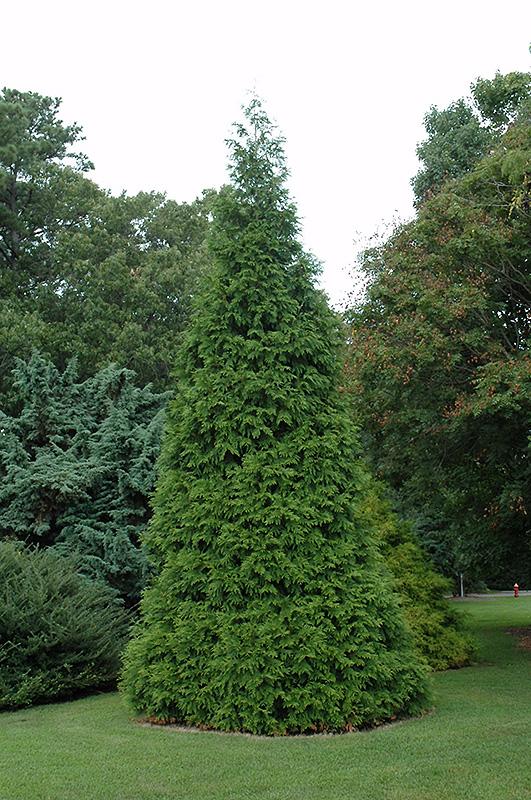 Green Giant Arborvitae Thuja Green Giant In Naperville