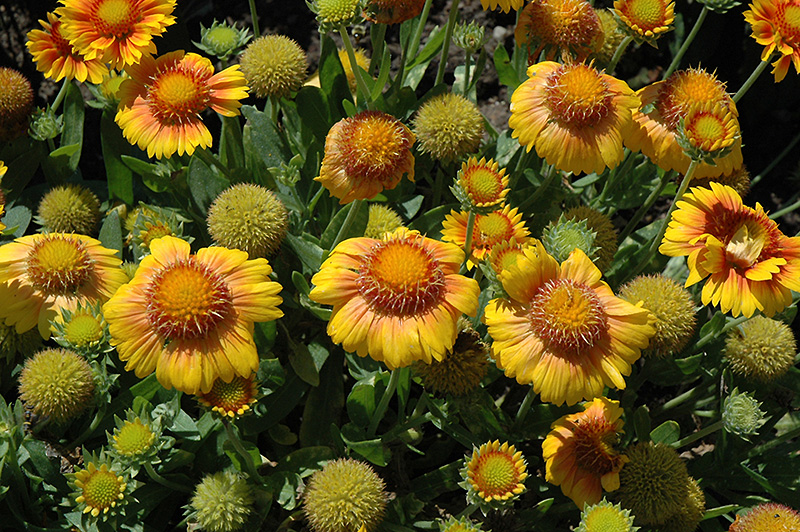 Arizona apricot blanket flower gaillardia x grandiflora arizona arizona apricot blanket flower gaillardia x grandiflora arizona apricot at the growing mightylinksfo
