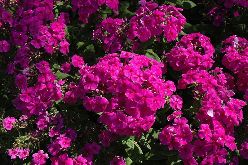 Purple Flame Garden Phlox (Phlox Paniculata U0027Purple Flameu0027) At The Growing  Place