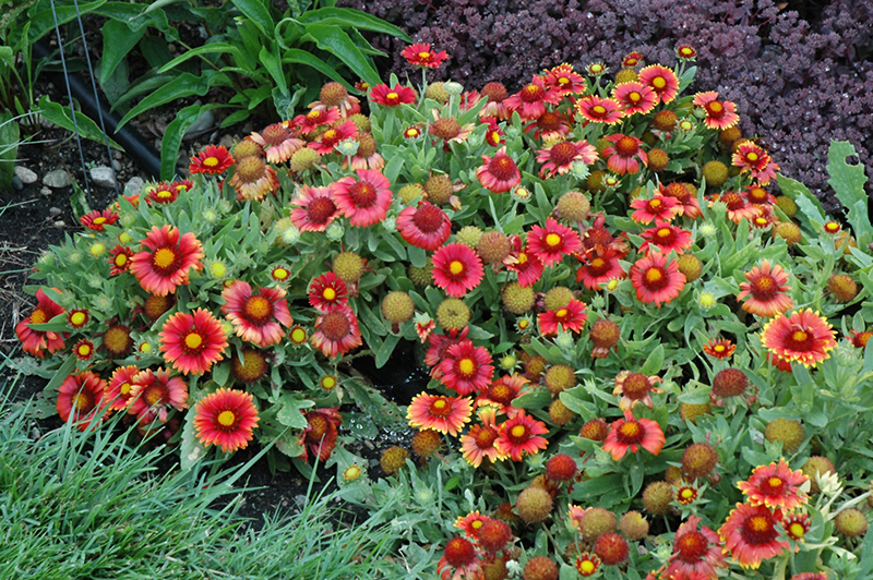 Arizona red shades blanket flower gaillardia x grandiflora arizona arizona red shades blanket flower gaillardia x grandiflora arizona red shades at mightylinksfo