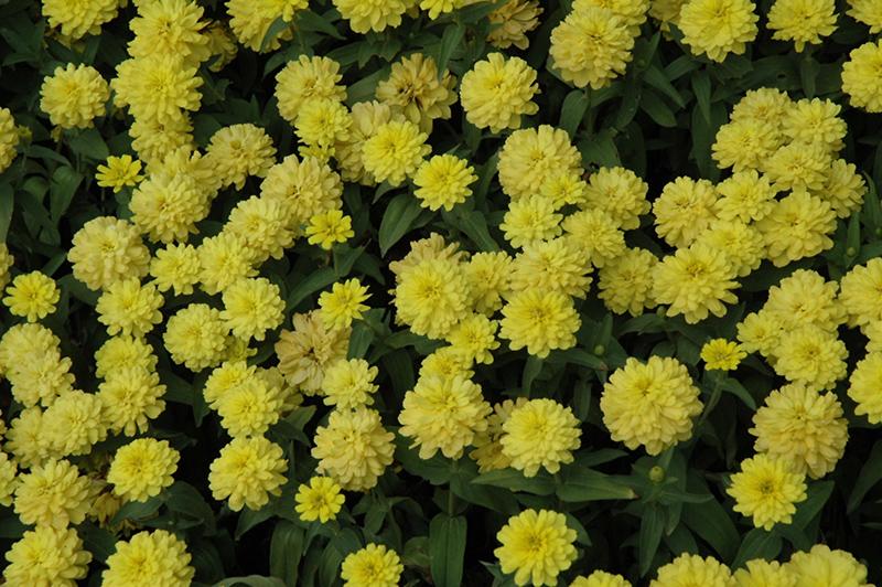 Zahara double yellow zinnia zinnia zahara double yellow in zahara double yellow zinnia zinnia zahara double yellow at the growing mightylinksfo