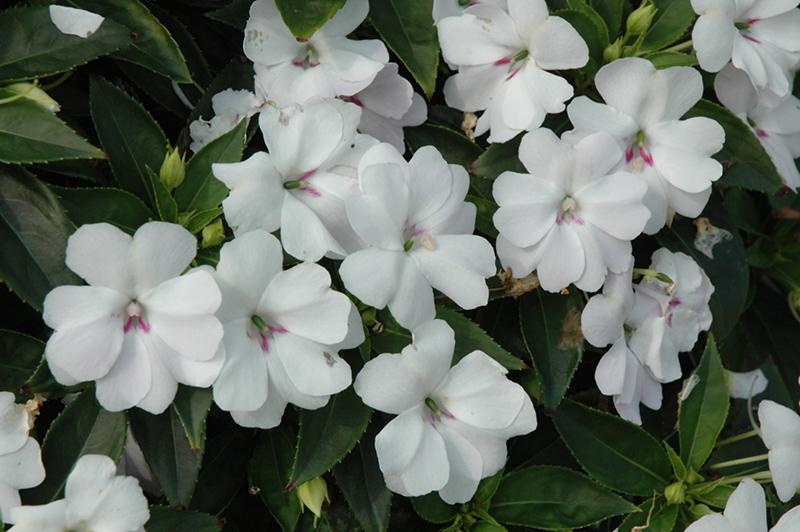 Bounce™ White Impatiens (Impatiens 'Balbouite') in ... White Impatiens Flowers