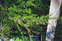 Canadian Hemlock (Tsuga canadensis) at The Growing Place