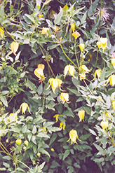 Golden Clematis (Clematis tangutica) at The Growing Place