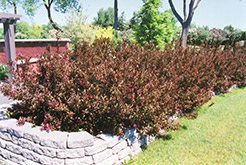 Wine and Roses® Weigela (Weigela florida 'Alexandra') at The Growing Place