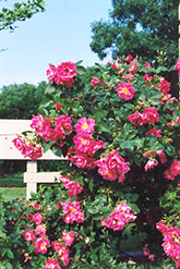 William Baffin Rose (Rosa 'William Baffin') at The Growing Place