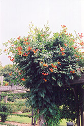 Trumpetvine (Campsis radicans) at The Growing Place
