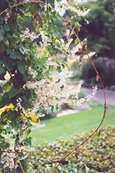 Silver Lace Vine (Polygonum aubertii) at The Growing Place