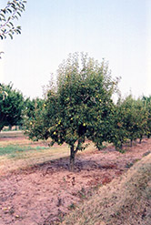 Bartlett Pear (Pyrus communis 'Bartlett') at The Growing Place