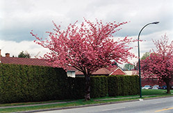Kwanzan Flowering Cherry (Prunus serrulata 'Kwanzan') at The Growing Place