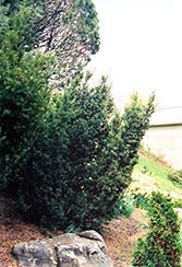 Captain Upright Yew (Taxus cuspidata 'Fastigiata') at The Growing Place