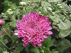 Debonair Chrysanthemum (Chrysanthemum 'Debonair') at The Growing Place