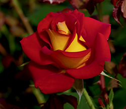 Ketchup And Mustard Rose (Rosa 'WEKzazette') at The Growing Place
