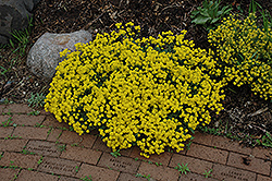 Gold Dust Basket Of Gold (Aurinia saxatilis 'Compacta') at The Growing Place