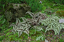 Japanese Painted Fern (Athyrium nipponicum 'Pictum') at The Growing Place