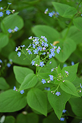 Siberian Bugloss (Brunnera macrophylla) at The Growing Place