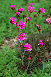 Dusseldorf Pride Sea Thrift (Armeria maritima 'Dusseldorf Pride') at The Growing Place