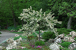 Tina Flowering Crab (Malus sargentii 'Tina') at The Growing Place