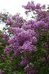 Chinese Lilac (Syringa x chinensis) at The Growing Place