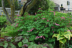 Common Bleeding Heart (Dicentra spectabilis) at The Growing Place