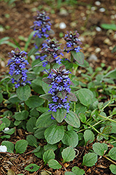 Caitlin's Giant Bugleweed (Ajuga reptans 'Caitlin's Giant') at The Growing Place
